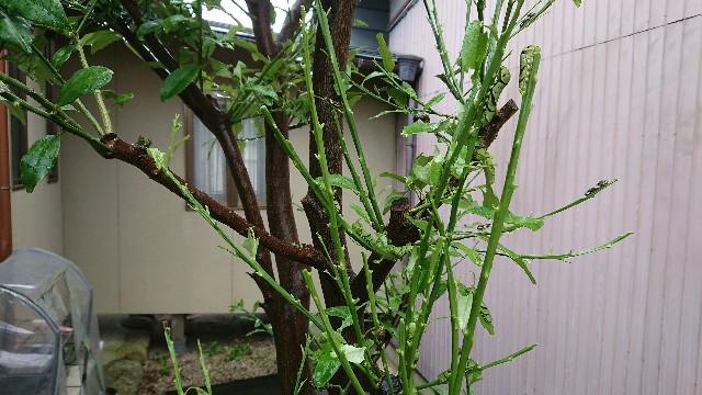 f:id:tosshii-plants:20200709202231j:image