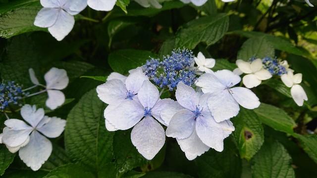 f:id:tosshii-plants:20200713225227j:image