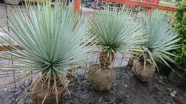 f:id:tosshii-plants:20201022215250j:image