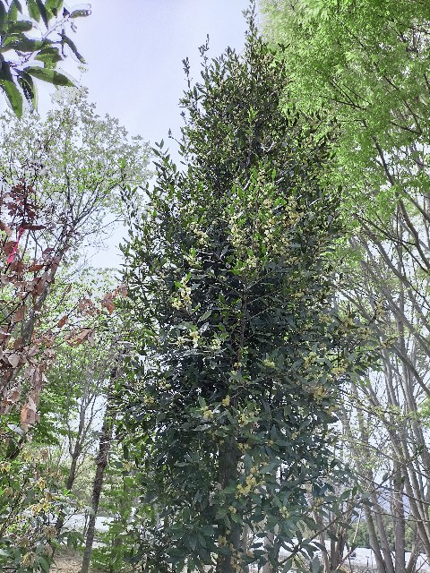 f:id:tosshii-plants:20210415232909j:image