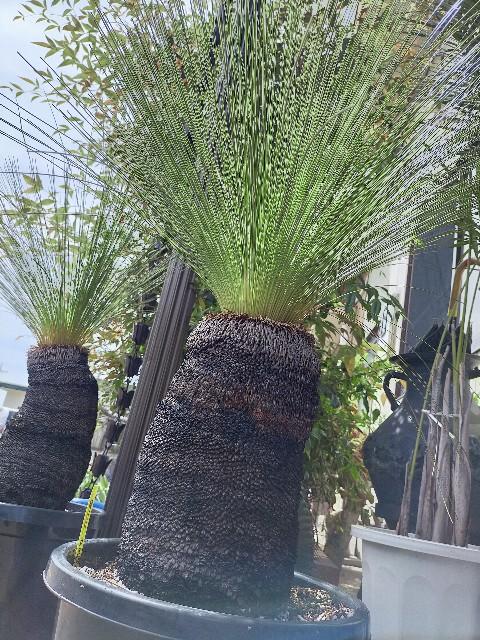 f:id:tosshii-plants:20210422210240j:image