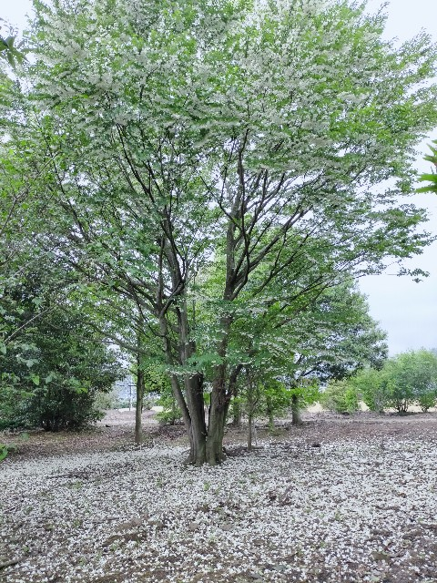 f:id:tosshii-plants:20210515202722j:image