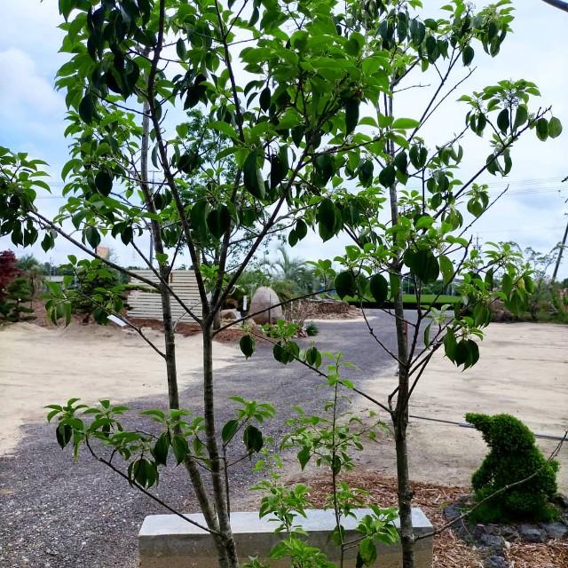 f:id:tosshii-plants:20210603205321j:image