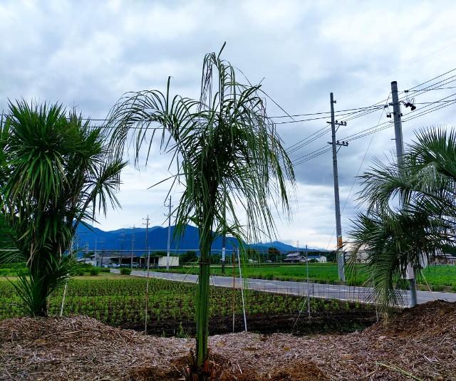 f:id:tosshii-plants:20210703211612j:image