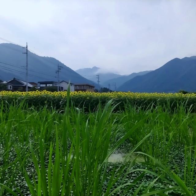 f:id:tosshii-plants:20210801222806j:image