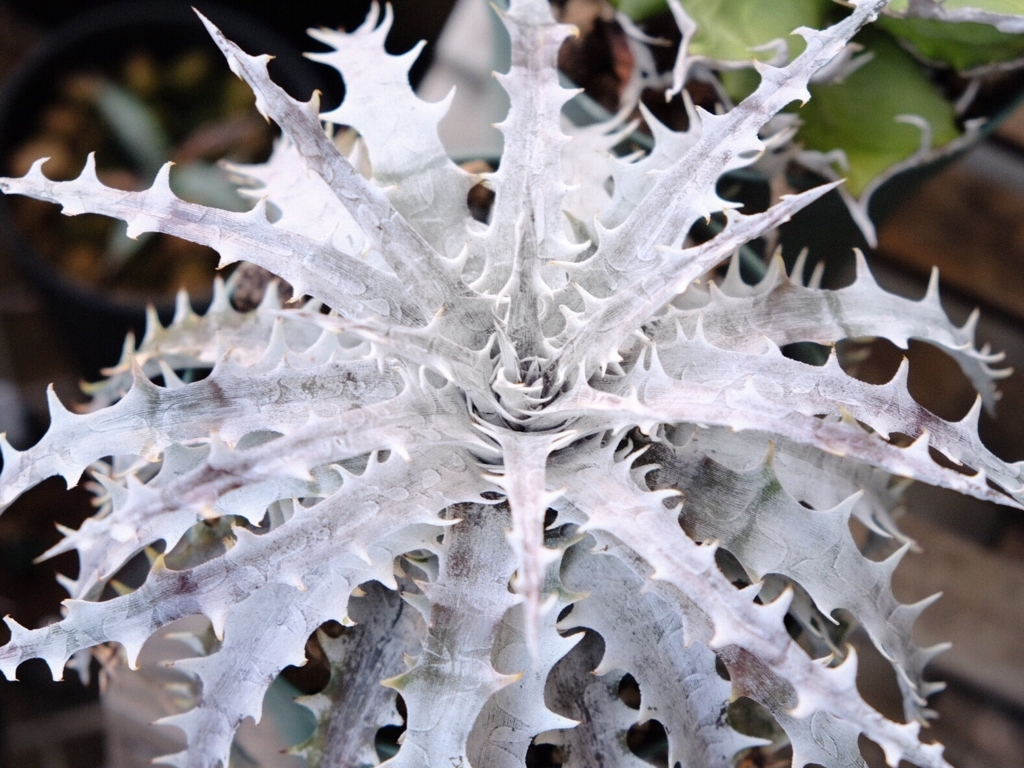 DYCKIA throwing star