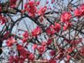 [府中市郷土の森公園][早春]赤い梅