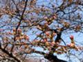 [早春][つぼみ][桜]はじけそう