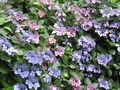 [梅雨][紫陽花][寺]がく紫陽花