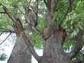 [桜ヶ丘公園]大木