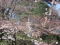 [寺][早春][桜]観音様、桜先始め