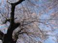 [春][桜]咲き始め