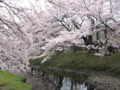 [根川緑道][桜][春]