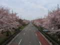 [桜][春]国立大学通り