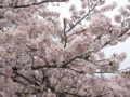 [桜][春][日野市中央公園]