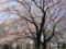 [春][桜][日野市中央公園]