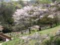 [春][桜][長沼公園]