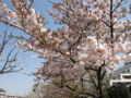 [春][桜]