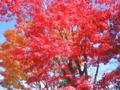 [昭和記念公園][秋][紅葉]