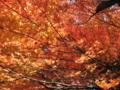 [秋][紅葉]
