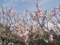 [春]国道沿いの梅