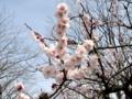 [春]白梅