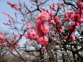[春]紅梅