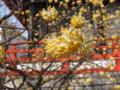 [春]みつまたの花