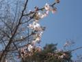 [春]桜開花