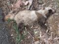 [たぬき][狸]たぬきが死んでいた