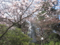 [春]桜と観音様@高幡不動尊