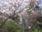 桜と観音様@高幡不動尊