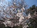 [春]桜咲き始め@高幡不動尊