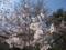 桜咲き始め@高幡不動尊