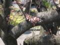 [春]桜つぼみ@百草台団地