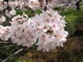 [桜][春][根川緑道]根川の桜