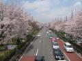 [桜][春]国立大学通りの桜