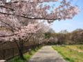 [長池公園][桜][春]