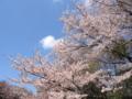 [尾根緑道[桜][春]