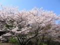 [尾根緑道][桜][春]
