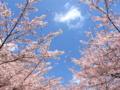 [桜][春]八王子市南大沢五丁目辺り