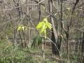 [長池公園][春][新緑]新芽