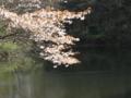 [長池公園][桜][春]葉桜と長池