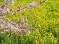 [昭和記念公園][春][桜]桜と菜の花