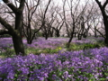 [昭和記念公園][春][桜]ムラサキハナナと桜