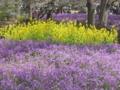 [昭和記念公園][春]ムラサキハナナと菜の花