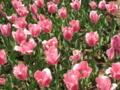 [昭和記念公園][春]