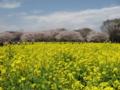 [昭和記念公園][春][桜]菜の花と桜