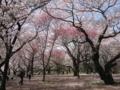 [昭和記念公園][春][桜]桜の園
