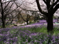 [昭和記念公園][春][桜]